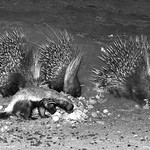 Porcupines and a Honey Badger at night, Namibia by Bill Wastell
