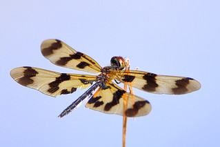 Graphic Flutterer (Rhyothemis graphiptera)