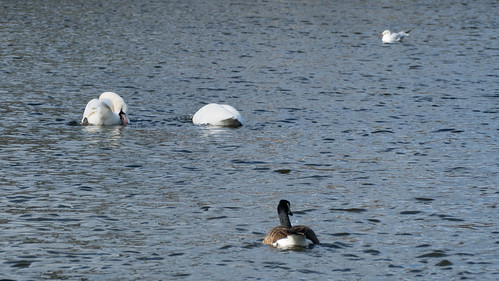 Courtship dance, swan pair, West Park boating lake