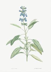 Blooming sage plant