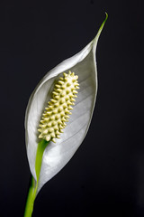 Peace lily lightpainted