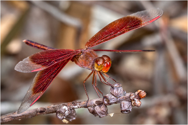 Painted Grasshawk Dragonfly, Canon EOS 5D MARK IV, Canon EF 100mm f/2.8L Macro IS USM