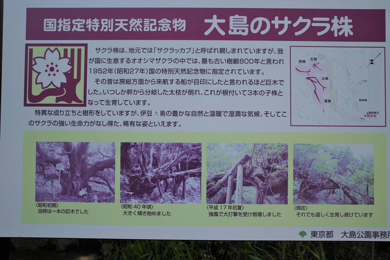伊豆大島のサクラ株
