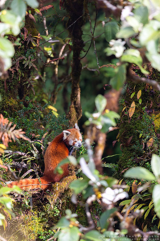 Endangered Red Panda from Singalila National Park, Indo-Nepal border by Arindam Bhattacharya
