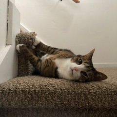 Amelia #cat on stairs