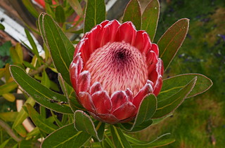 Protea - National Flower of South Africa
