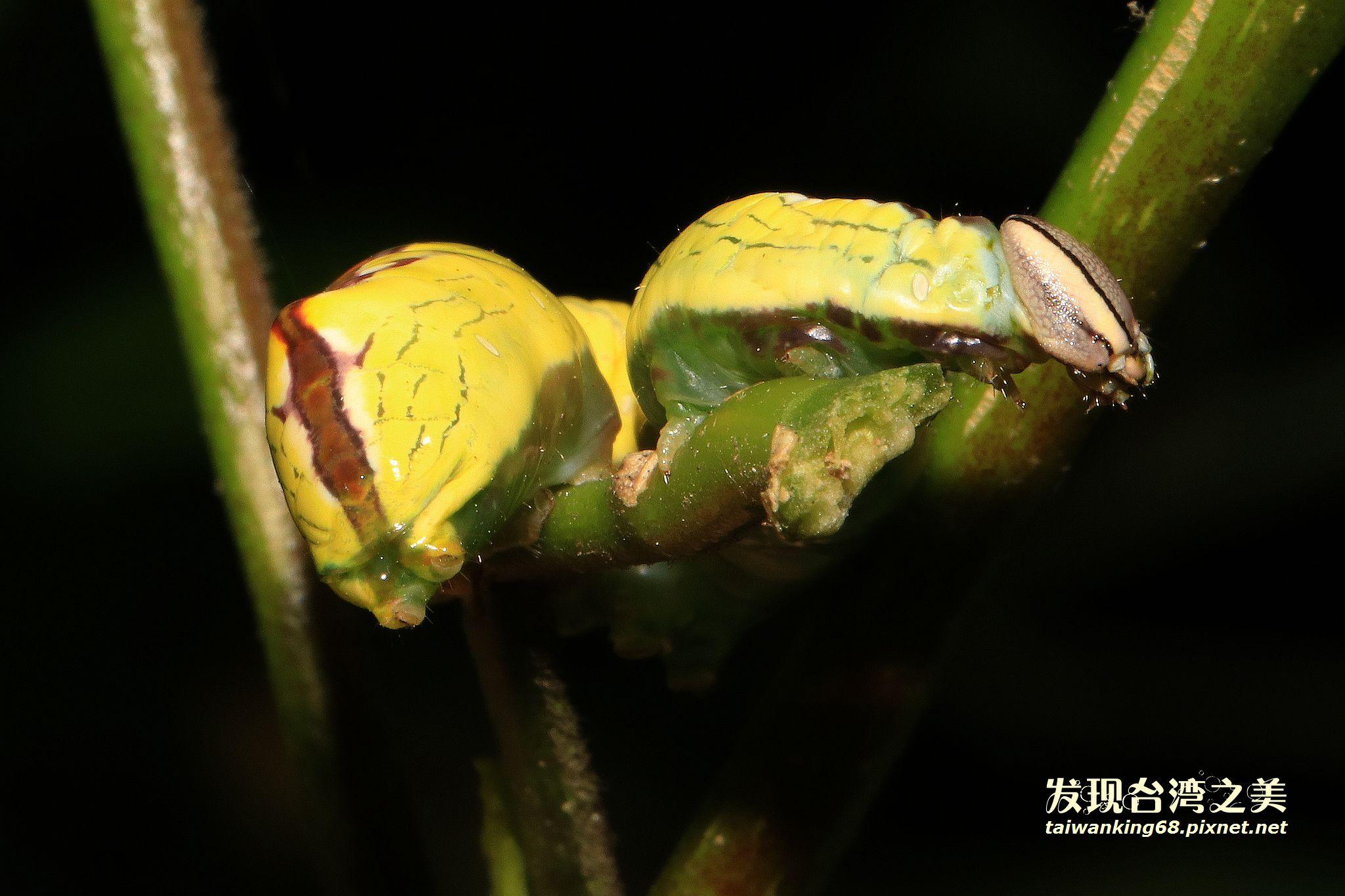 眼紋木舟蛾幼蟲