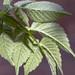 Tree Dahlia Leaves