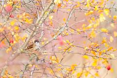 Tree Sparrow - Feldsperling