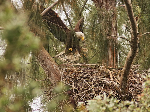 Bald Eagle 6057-20190125