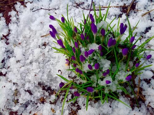 Sneeuw en vorst de krokussen komen toch - Foto: Tiny Post.