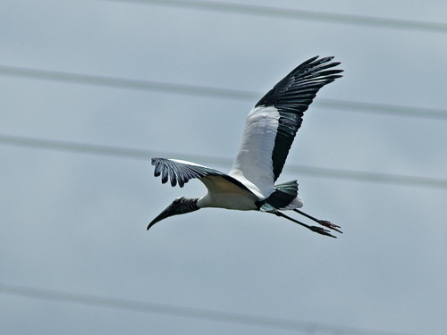 Wood Stork in flight 01-20190212