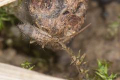 Entomobrya muscorum forme postbimaculata