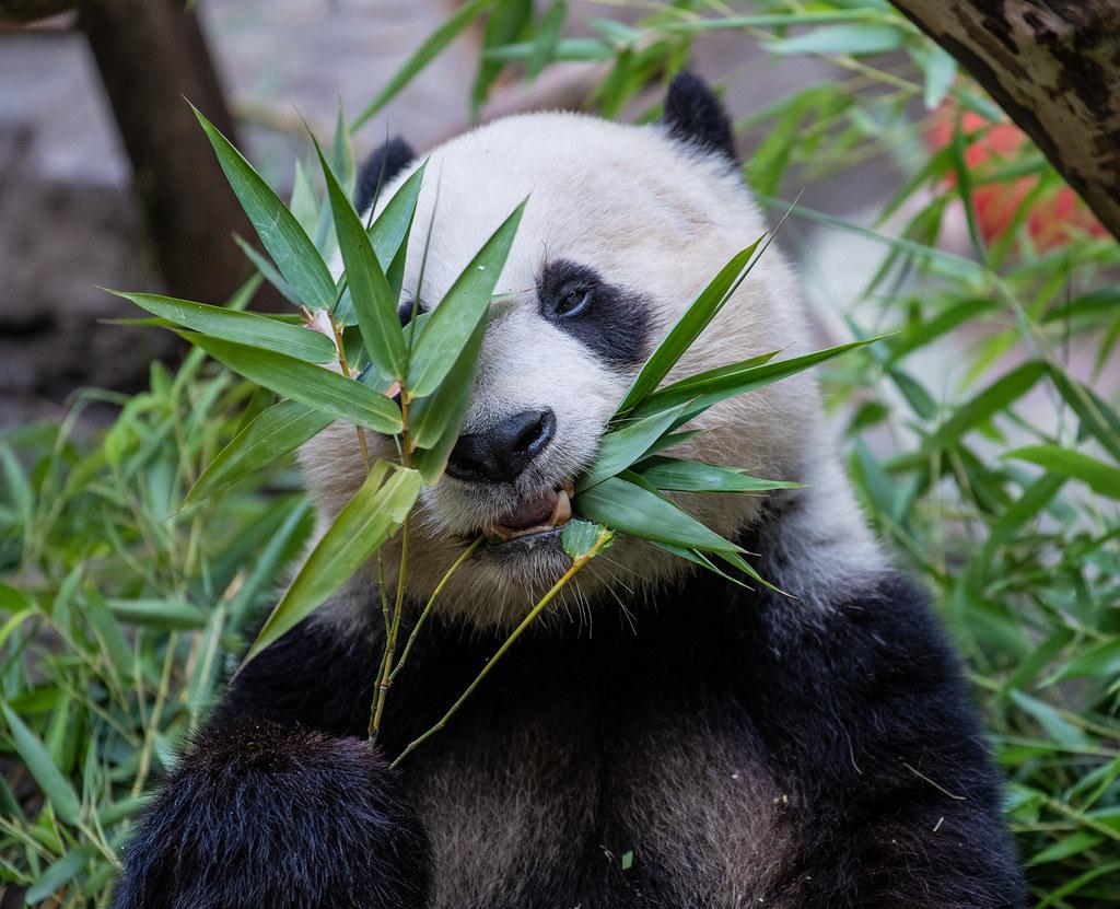 Panda_21
