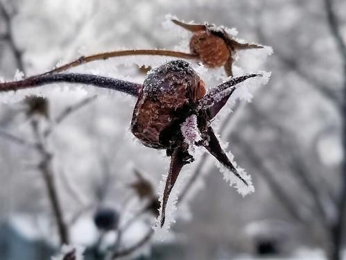 20181226.frosty.rosehip