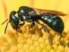 Small carpenter bee (genus Ceratina, subgenus Zadontomerus, species calcarata, dupla, or mikmaqi) on Sneezeweed (Helenium autumnale); Mount Rainier, PGC, Maryland; Aug 16, 2014