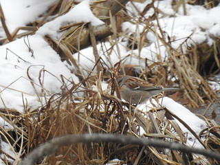American Tree Sparrow at Rocky River Reservation by Debra Sweeney