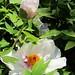 Paeonia suffruticosa, Sec. Mutan