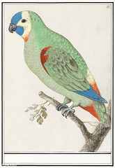 Turquoise-fronted amazon in vintage style