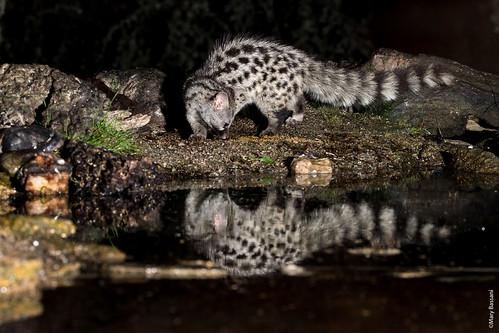 Genet reflexing in the water mirrow