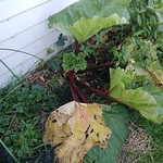 rhubarb planting in brick lined garden beside the garage by shiny