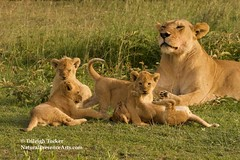 Lion cubs playing next to proud mother