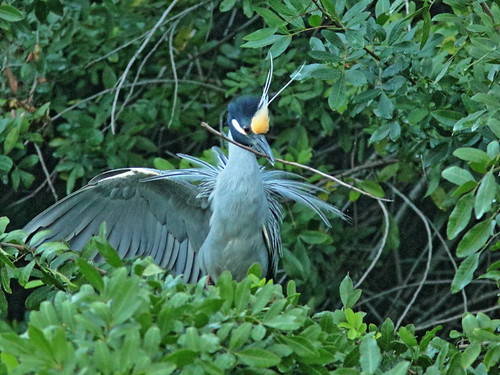 Yellow-crowned Night-Herons at nest 07-20190227