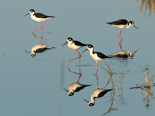Black-necked Stilts 014-20190401
