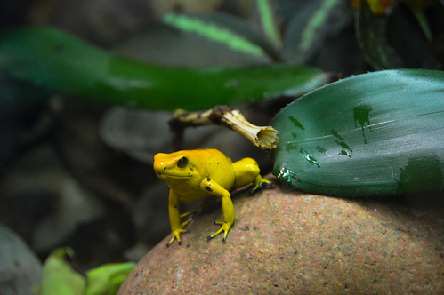 Golden Poison Frog (Phyllobates terribilis)