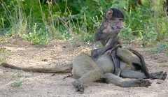 Chacma Baboons (Papio ursinus) young playing with older one ...