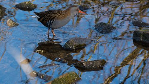 Water rail foraging, Perton Pool