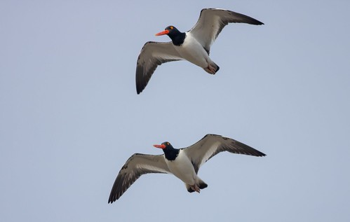 Pair of Oystercatchers flying