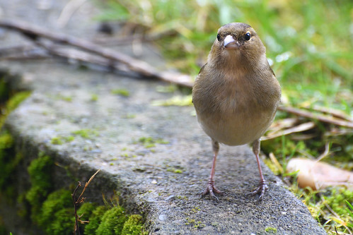 Pinson des arbres Fringilla coelebs - Common Chaffinch