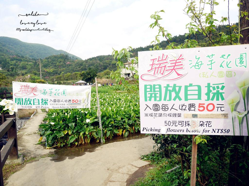 台北陽明山竹子湖海芋季採海芋推薦農園價格 (2)