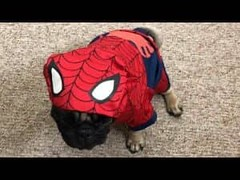 Pug dressed as Spider-Man!!! | VIDEO