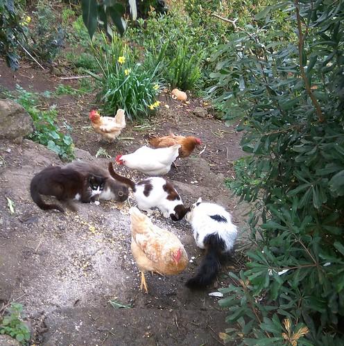Gatos e galinhas partilhando comida