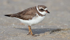 Semipalmated Plover- Green Key