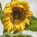 sunflower por ikarusmedia