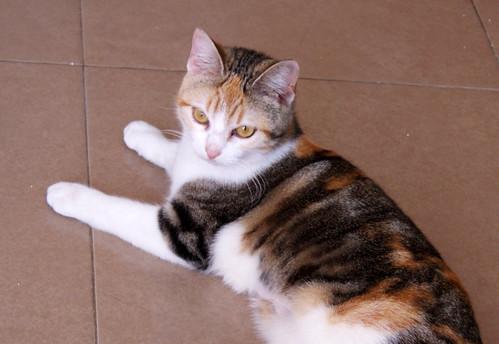 Zoe, gatita tricolor jaspeada divertida y guapa esterilizada, nacida en Septiembre´18, en adopción. Valencia. 46426548004_6521d74f22