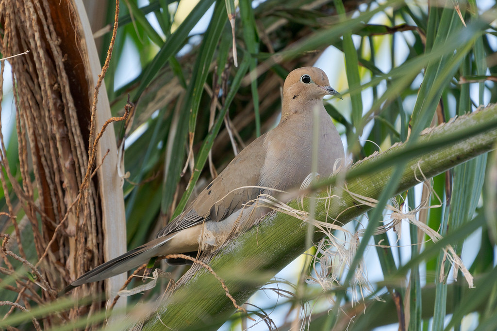 A mourning dove perches in a palm tree in the backyard of our rental house in Scottsdale, Arizona