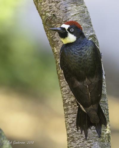 F8 - Acorn Woodpecker