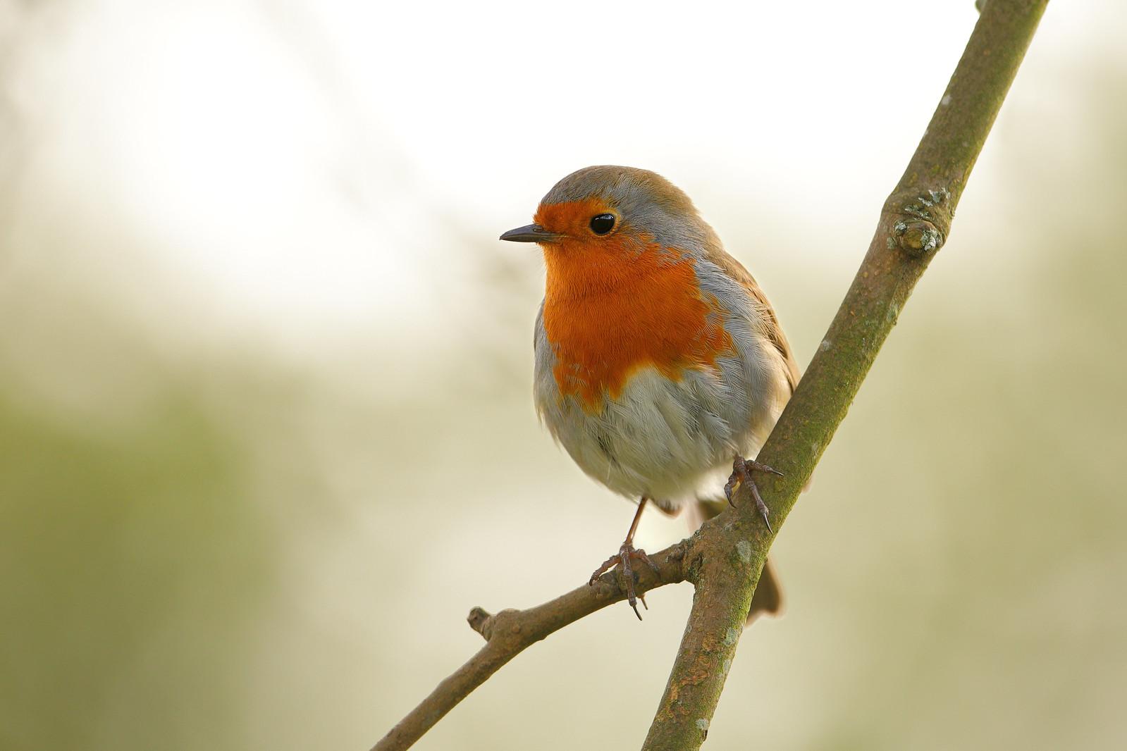 Garden Robin, Preston Park