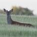 D1235125 Roe Deer, Barley Field