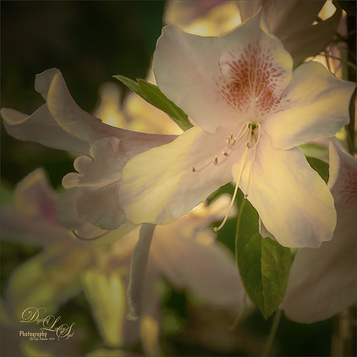 Beautiful White Azalea image taken at the Ravine Gardens in Palatka, Florida