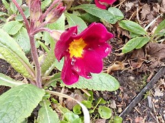 Primroses Genus Primula