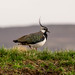 Lapwing by Vital Sparks