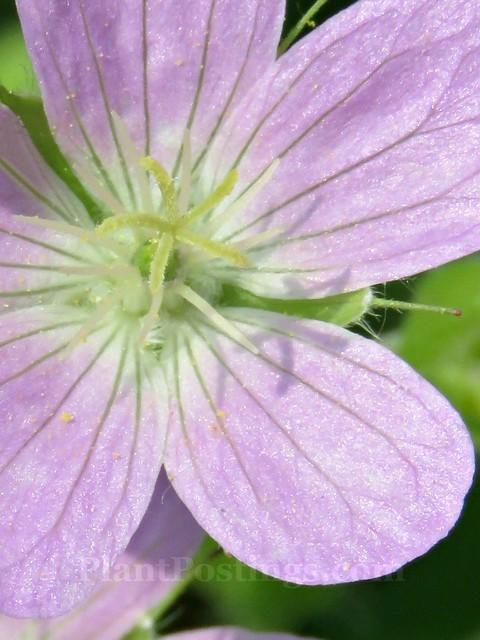 geranium 5