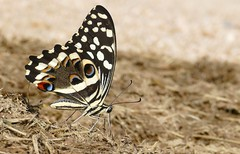 Citrus Swallowtail (Papilio demodocus) on elephant dung ...
