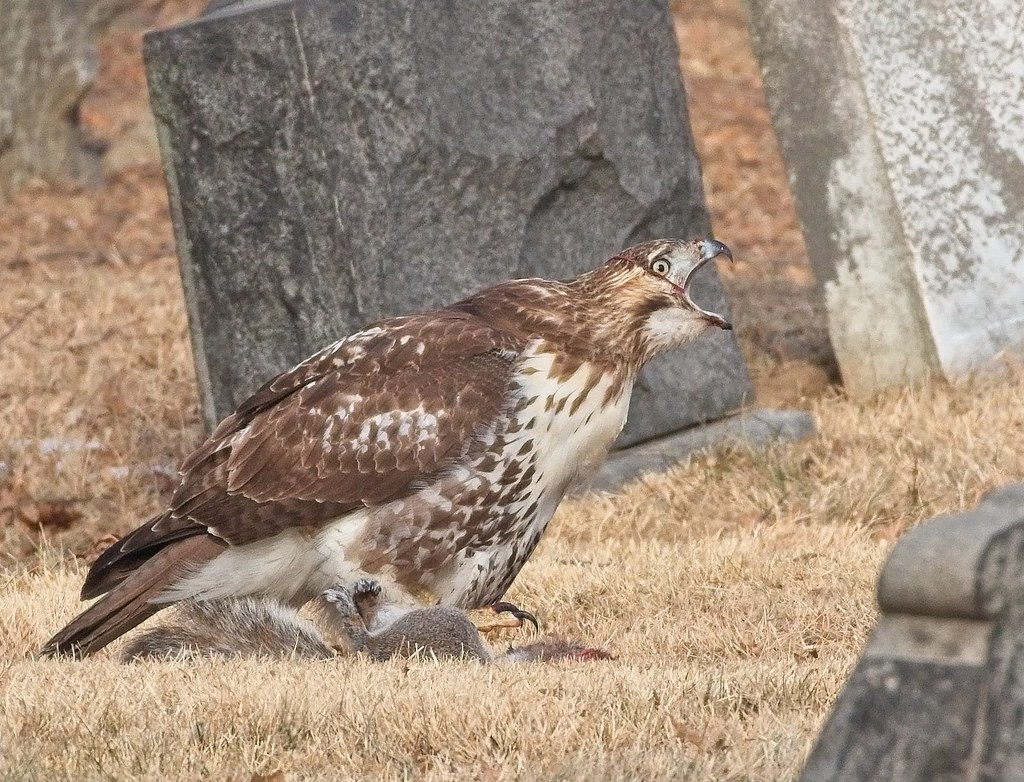 Red-tail gets entrails wrapped around head