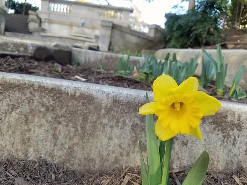 First Daffodil Sighting